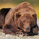 Медвежья сага