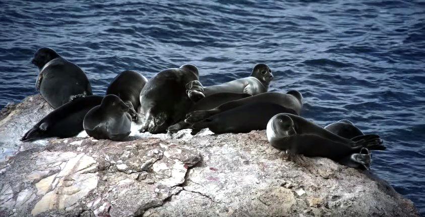 байкальские  тюлени